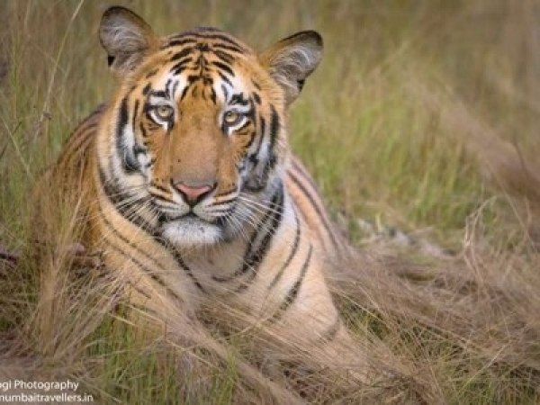 Tiger Safari Booking (Tadoba) - Mumbai Travelers