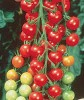 Cherry Tomato Cultivation
